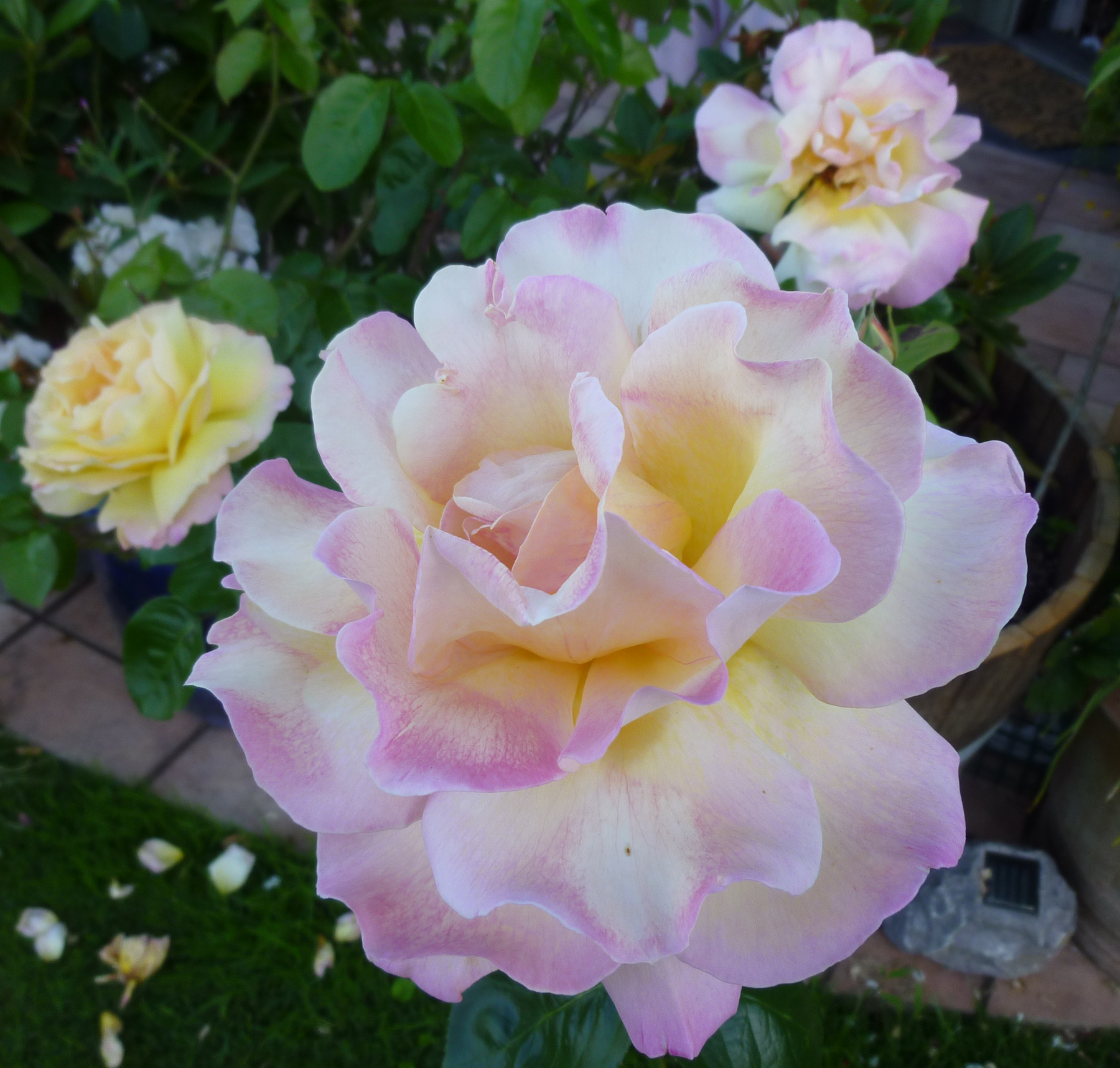 peace rose h h alexandra